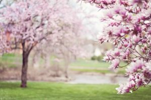 magnolia træer i blomst