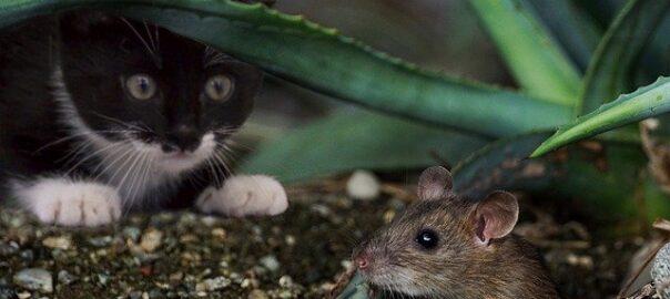 Billede af kat, der jager en mus